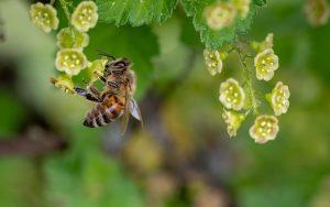 pollinisation-abeille