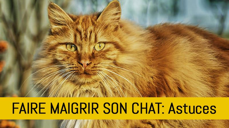 comment-faire-maigrir-son-chat