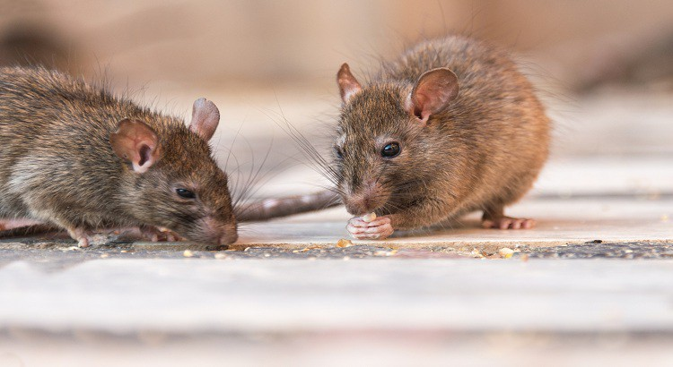 Conseils pour lutter contre les rats